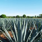 Consejo Regulador del Tequila (CRT) Says Too Much Fake Tequila