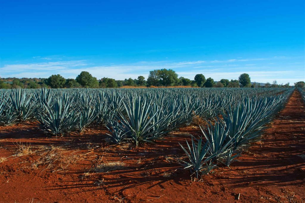100 Agave field Mexico