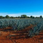 Consejo Regulador del Tequila Releases Current Tequila Production